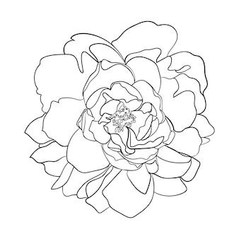 牡丹の花。線画。 -ベクトルイラスト