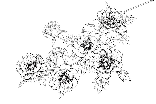 Peony julia rose leaf and flower drawings. vintage hand drawn botanical illustrations.