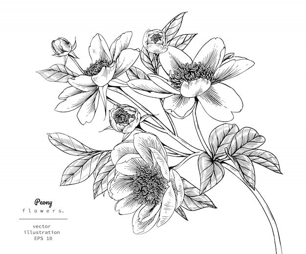 Peony leaf and flower drawings