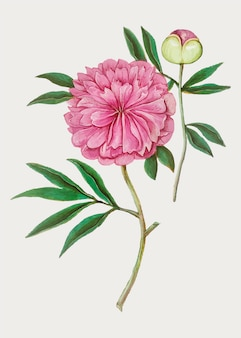 Peony in vintage style