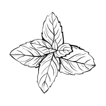 박하 잎 흰색 배경에 고립