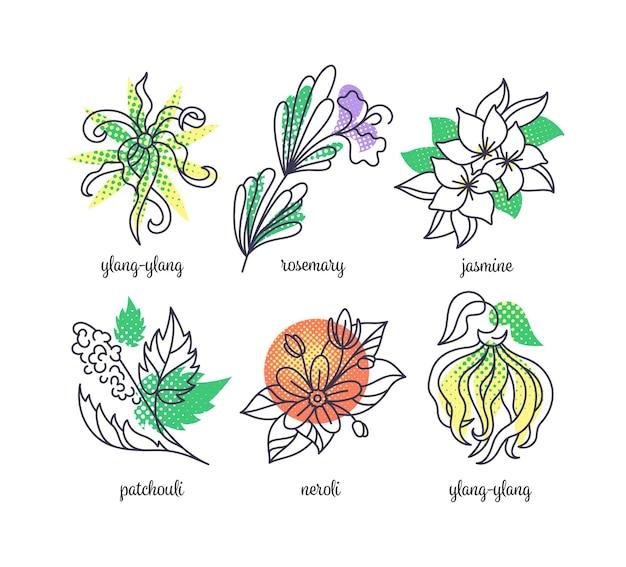 香水ハーブイラスト、線と色のアイコンのセット。イランイラン、ローズマリー、ジャスミン、パチョリ、ネロリ。