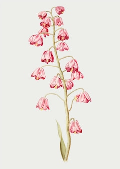 Persian lily in vintage style