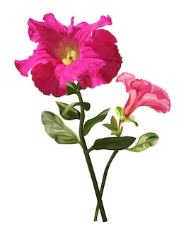 Петуния цветок изолированные векторные иллюстрации
