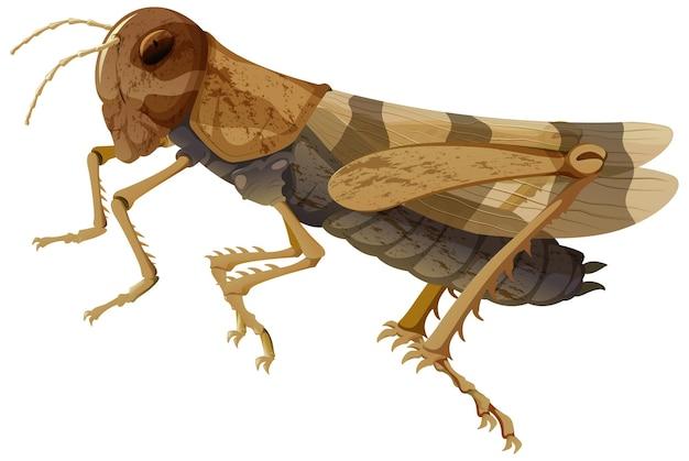 남근 날개 메뚜기 흰색 배경에 고립