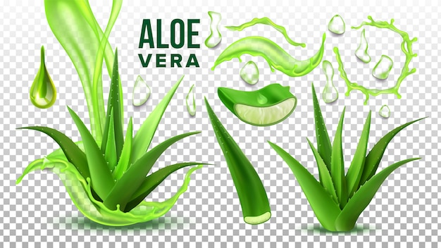 Pharmacy succulent aloe vera