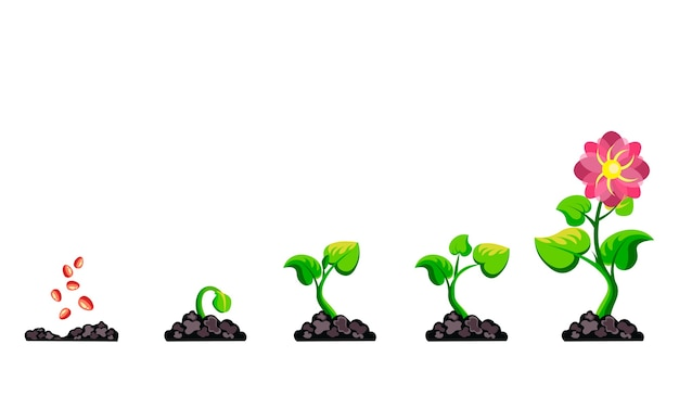 Phases plant growth infographic.