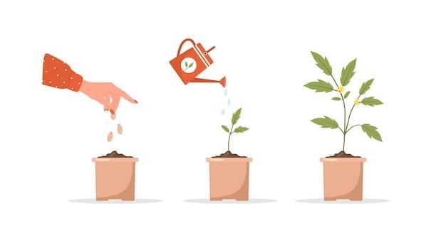 냄비에서 자라는 단계 묘목. 새싹에서 채소까지 식물 성장 단계.