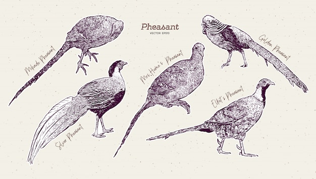 Pheasant collection, hand draw sketch