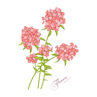 白い背景で隔離のフロックスの花