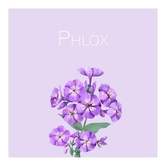 手描きの紫色のphlox花のイラスト