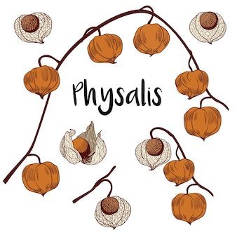 Physalis set