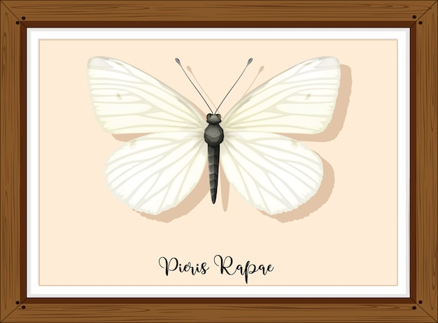 Pieris rapae на деревянной раме