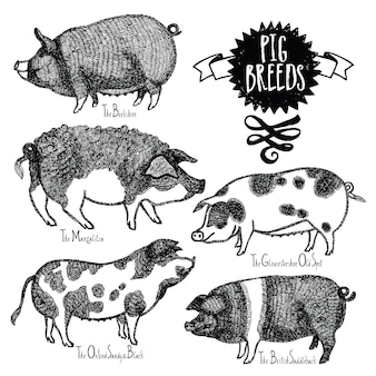 Pig breeds vector illustration sketch style hand drawn
