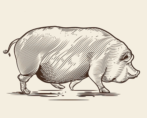 Pig in the style of an engraving.