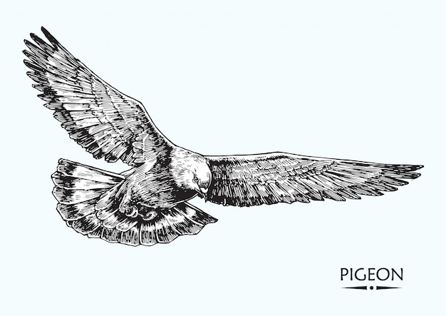 Pigeon, hand drawn illustration, isolated vector