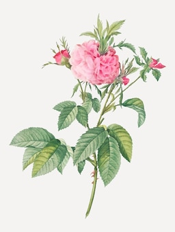 Pink agatha rose