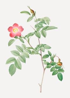 Pink alpine rose