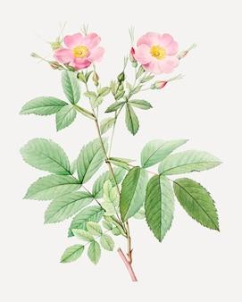 Pink alpine roses