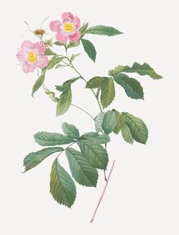 핑크 알파인 장미