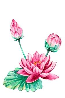 분홍색과 보라색 수련 연꽃, 벡터 수채화 일러스트, 절연