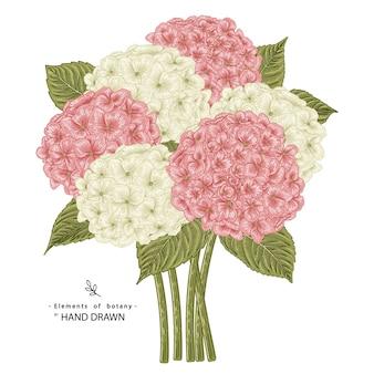 白で隔離されるピンクと白のアジサイの花