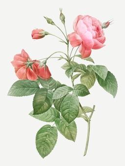 Pink boursault rose