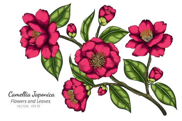 Pink camellia japonica flower and leaf drawing illustration with line art on white backgrounds.