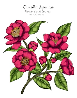 Pink camellia japonica flower and leaf drawing illustration with line art on white
