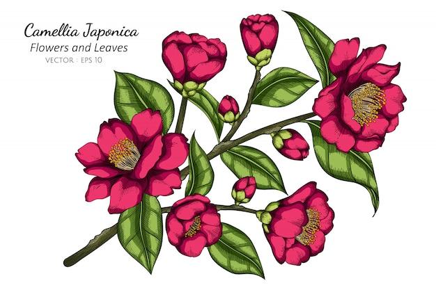 Pink camellia japonica flower and leaf drawing illustration