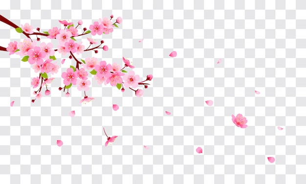 Pink cherry blossom with falling petals on transparent background.