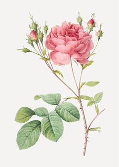Розовая роза камберленд