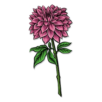 Pink dahlia vector illustration