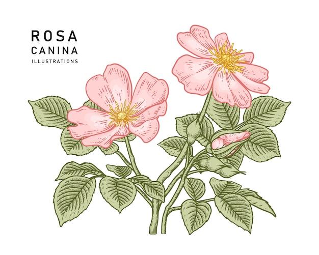 ピンクの犬ローズローザカニーナの花の絵