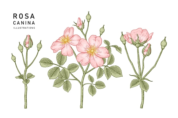 Pink dog rose (rosa canina) flower drawings