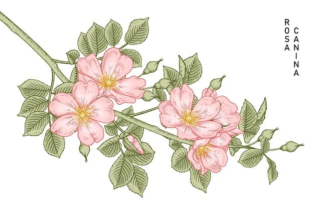 Pink dog rose (rosa canina) flower hand drawn botanical illustrations.