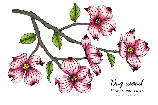 Pink dogwood flower and leaf drawing illustration with line art on white backgrounds.