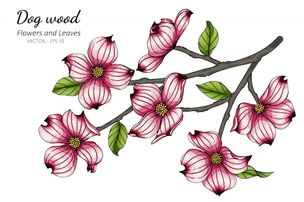Pink dogwood flower and leaf drawing illustration with line art on white