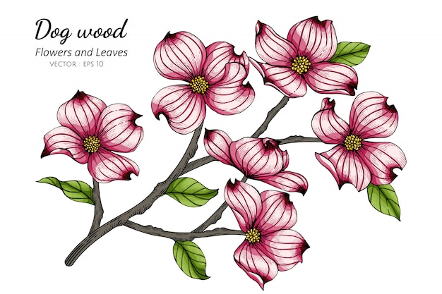 Pink dogwood flower and leaf drawing illustration with line art on whites.