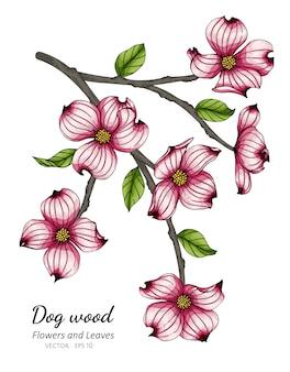 Pink dogwood flower and leaf drawing illustration