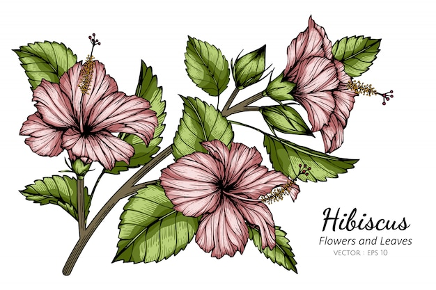 Pink hibiscus flower and leaf drawing illustration with line art on white backgrounds.