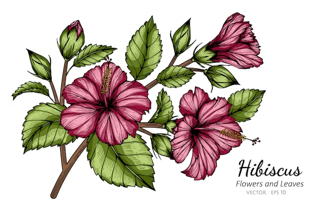 Pink hibiscus flower and leaf drawing illustration