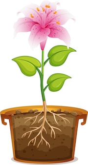Pink lily in clay pot on white background