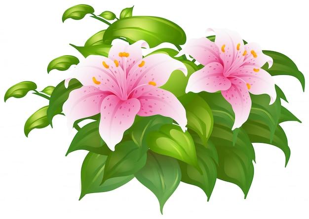 緑のブッシュのピンクのユリの花