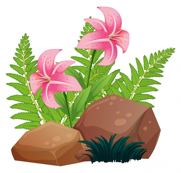 Pink lily flowers and rocks on white