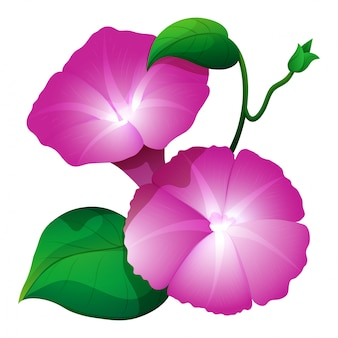 Pink morning glory flower with green leaves