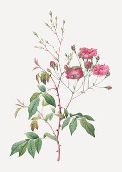 Pink noisette roses