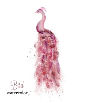 Pink peacock watercolor