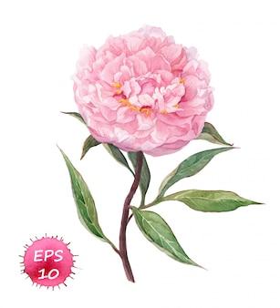 Pink peony flower.