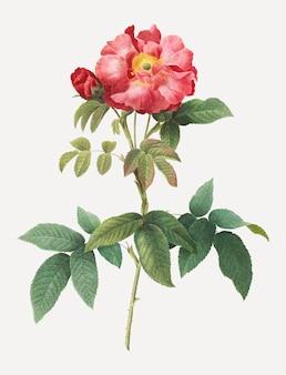 Pink provins rose